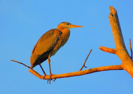 heron perched on a tree